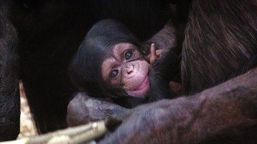 chimpansee jong