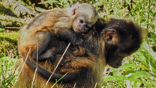 kapucijnaap jong