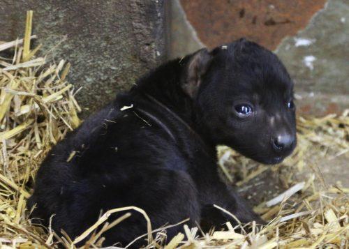 Hyenapuppy geboren