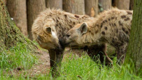Hyena samen
