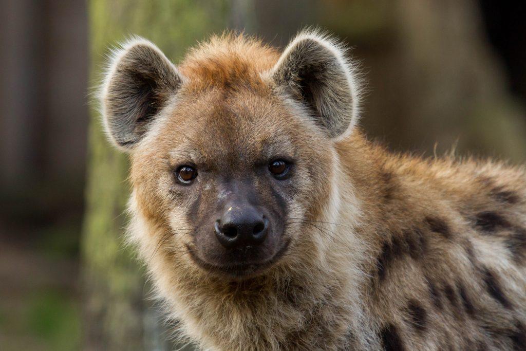 Gevlekte Hyena Dierenpark Amersfoort