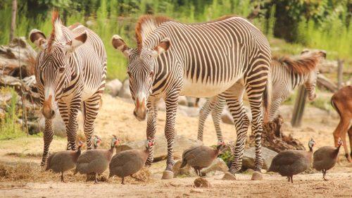 Grévy zebra's eten hooi