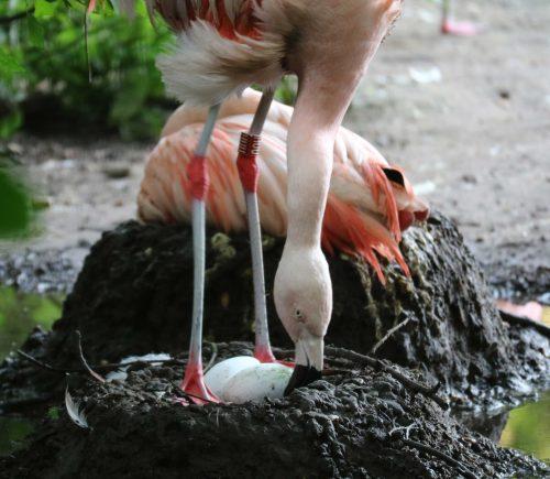 Verlate lentekriebels bij flamingo's
