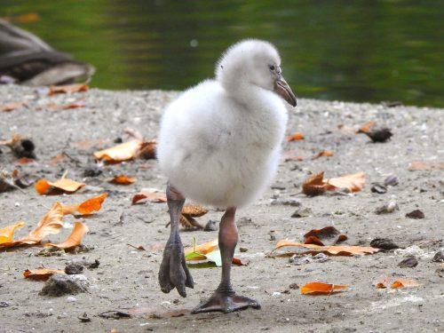 Flamingokuiken zet stapjes