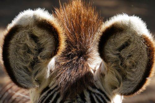 Zebraveulen