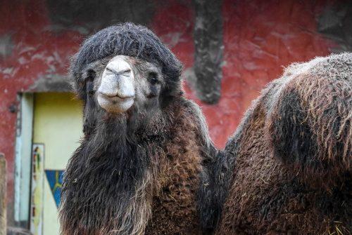 Wij verwelkomen nieuwe kameel