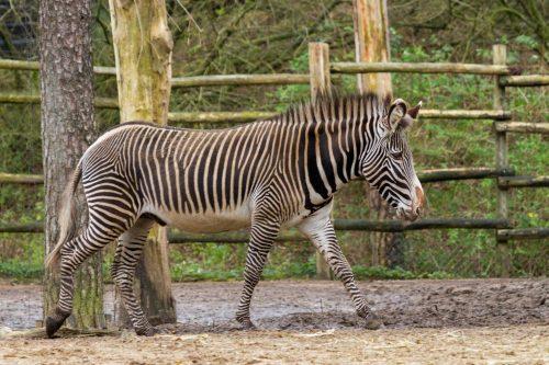 Zebra overleden
