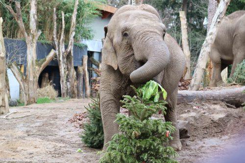 Olifanten stormen op kerstbomen af