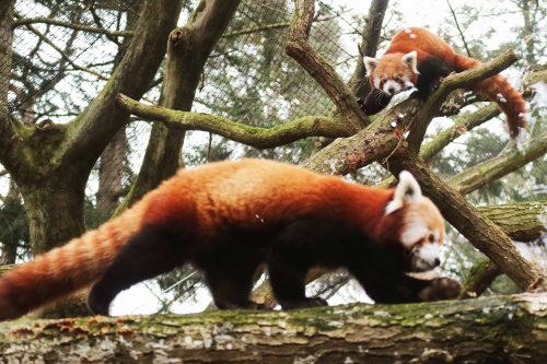 Rode panda's maken kennis
