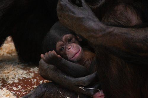 Chimpanseejong