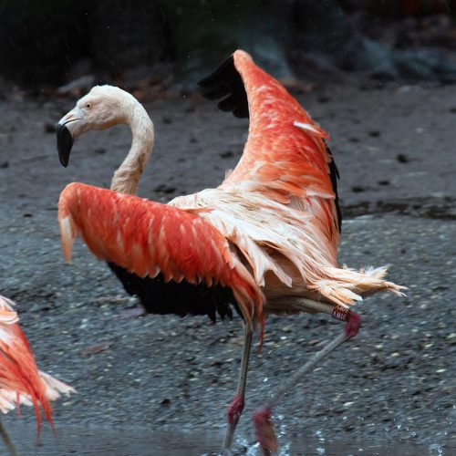 Nieuwe flamingo's