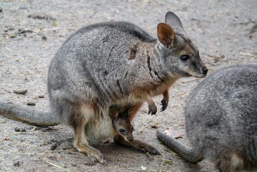 Wallaby-jong ontdekt