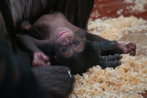 Kleine chimpansee is een vrouwtje