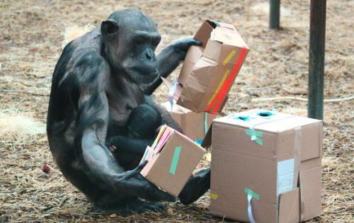 De naam van de kleine chimpansee is bekend