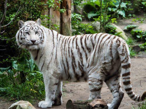 Witte tijger overleden