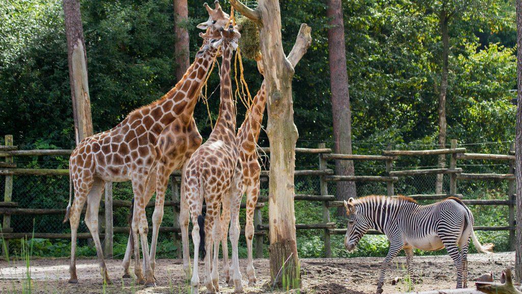 Giraffen en zebra's op de Savanne.