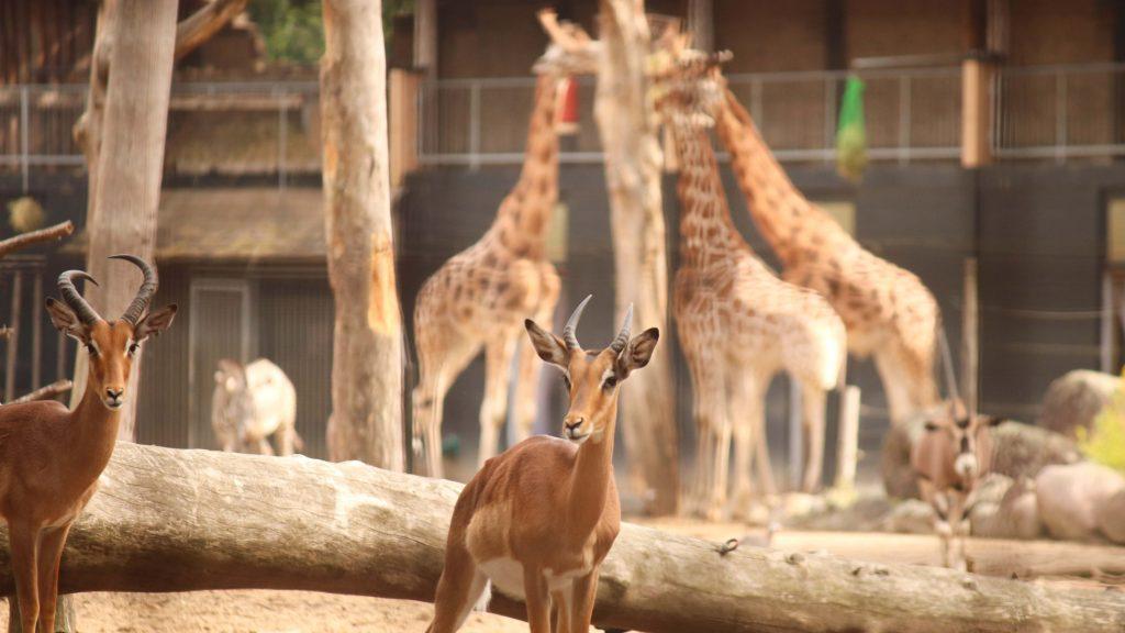 Momenteel leven er vooral hoefdieren: impala's, giraffen, Grévy zebra's, Beisa oryxen en maar liefst 53 parelhoenders.